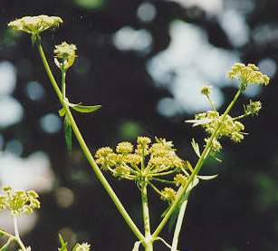 Levisticum officinale: Lovage flower clusters
