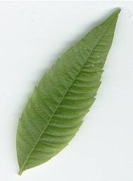 Lippia citriodora: Lemon verbena leaf