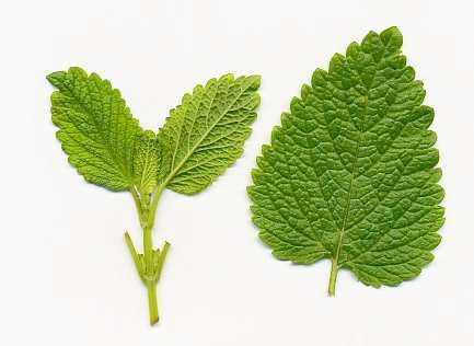 Melissa officinalis: Balm leaf