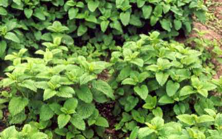 Melissa officinalis: Sterile lemon balm plants
