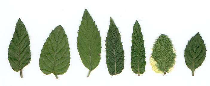 Mentha spec.: Leaves of various mints
