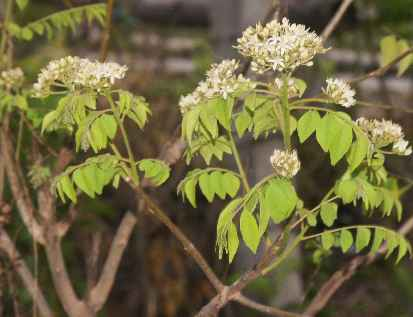 Murraya koenigii: Flowering curry tree