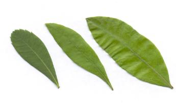 Myrica gale/pensylvanica/cerifera: Gale-leaves
