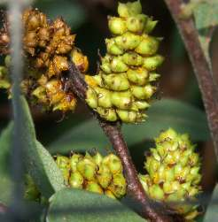 Myrica gale: Unripe gale fruits