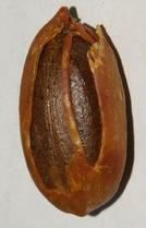 Myristica fragrans: Dried nutmeg seed with arillus