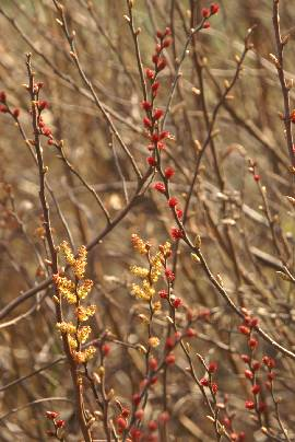 Myrica gale: Flowerings gale shrubs