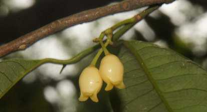 Myristica fragrans: Flower of Nutmeg tree
