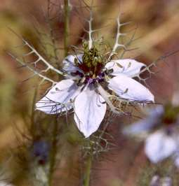 Nigella damascena: Devil in the bush (love in a mist)