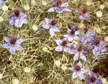 Nigella hispanica: Spanish fennel flowers