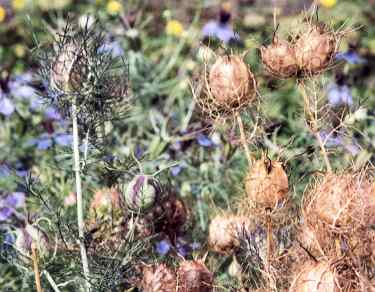 Nigella damascena: Pods of Devil in the bush