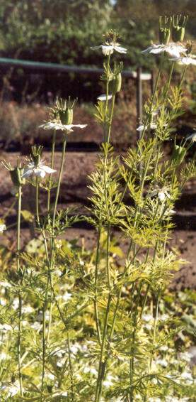 Nigella sativa: Late flowering black cumin plants