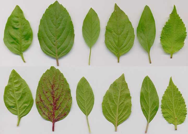 Ocimum basilicum: Basil leaves