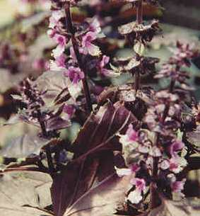Ocimum basilicum: Red-leaved basil 'Ruby'