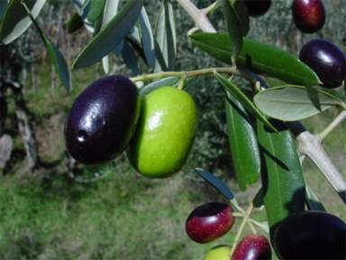 Spice Pages: Olive (Olea europaea)
