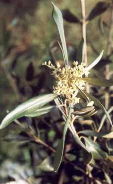 Olea europaea: Flowering olive branch
