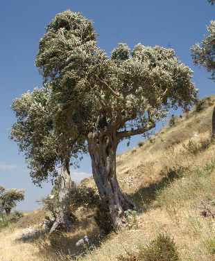 Olea europaea: Olive tree near St. Pierre Kilisesi (Antakya, Turkey)