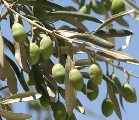 Olea europaea: Olive branch with unripe fruits