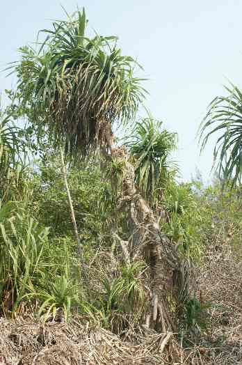 Pandanus odoratissimus: Screw palm tree