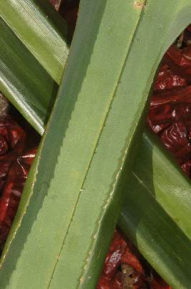 Pandanus amaryllifolius: Pandanus leaf with serrated leaf edge