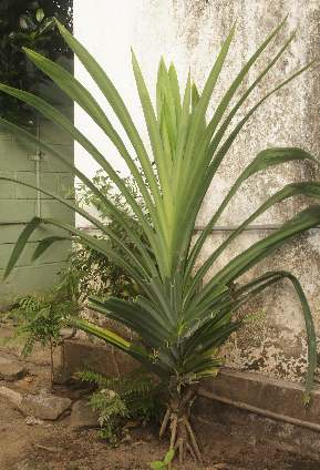 Pandanus amaryllifolius: Rampe plant growing in Sri Lanka
