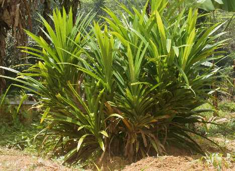 Pandanus amaryllifolius: Screwpine plant in low growth form