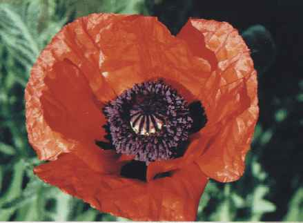 Papaver bracteatum: Ornamental poppy