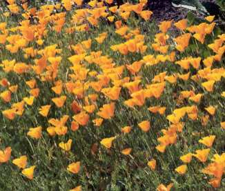 Eschscholtzia californica: California golden poppy