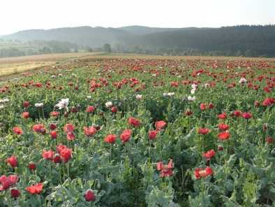 Papaver somniferum: Poppy fields in Waldviertel/Austria