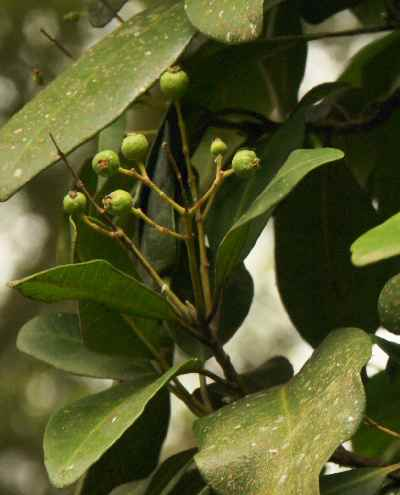 Pimenta racemosa: Allspice-related fruits