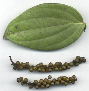 Piper nigrum: Black pepper leaf and unripe fruits