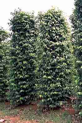 Piper nigrum: Pepper plantation