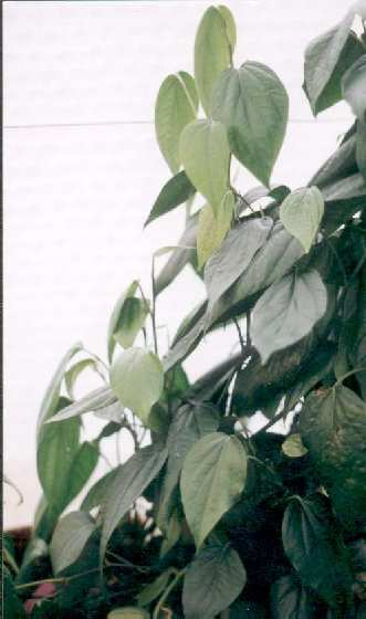 Piper nigrum: Pepper plants