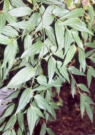 Piper cubeba: Cubeb pepper bush