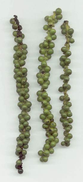 Piper nigrum: Unripe pepper infrutescense
