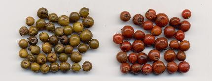 Piper nigrum: Pickled peppercorns: Green and red