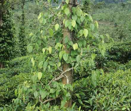 Piper nigrum: Pepper plant in South Indian plantation