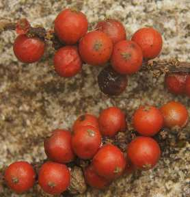 Piper nigrum: Fresh ripe red pepper berries