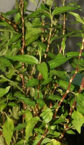 Gew rzseiten vietnamesischer koriander polygonum for Koriander pflanzen