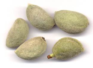 Prunus dulcis: Very young almond fruits