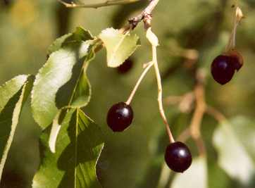 Prunus mahaleb: Mahlab cherries