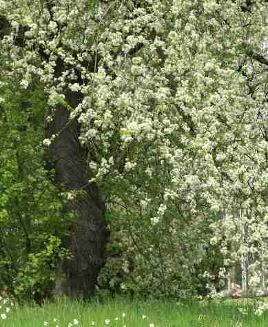 Prunus mahaleb: Aromatic Chery tree in blossom