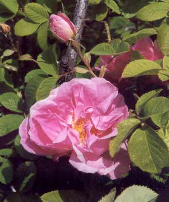 Rosa damascena: Damaszenerrose Quatre Saisons Continue