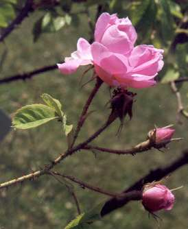 Rosa damascena: Damaszener Rose