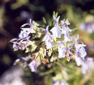 Rosmarinus officinalis: Rosemary flowers