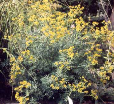 Spice Pages: Rue (Ruta graveolens, Herb of Grace)