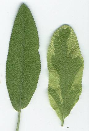 Salvia officinalis: Sage leaves