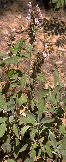 Salvia officinalis: Garden sage