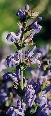 Salvia officinalis: Sage flower