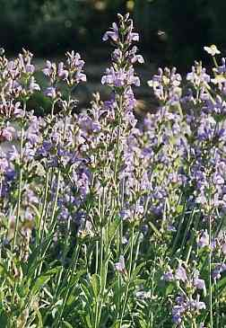 Salvia officinalis: Sage plants