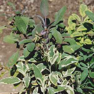 Salvia officinalis: Sterile sage plants
